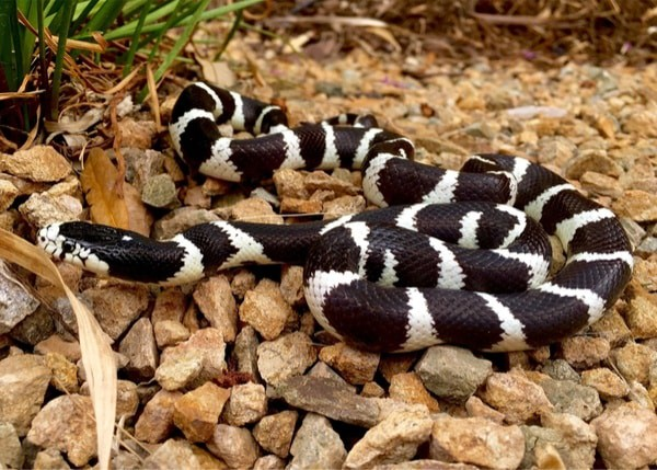 California Kingsnake Life Expectancy