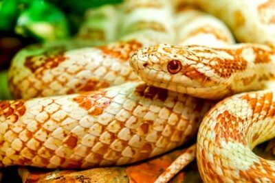 Corn snake life expectancy