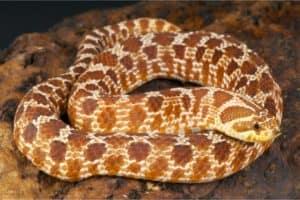 Hognose snake Life Expectancy
