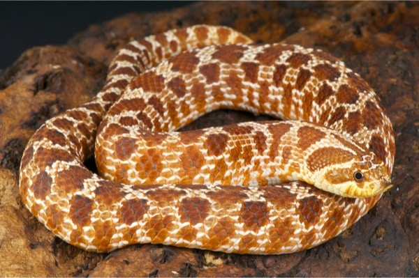 Hognose snake Life Expectancy