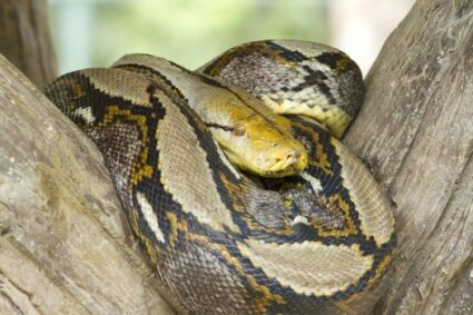 How does a boa constrictor defend itself?