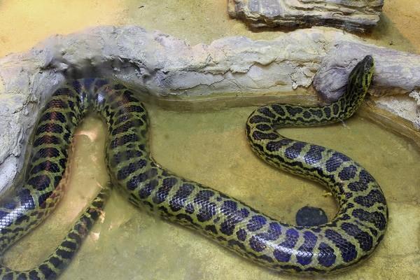 Can a Burmese python eat a human?