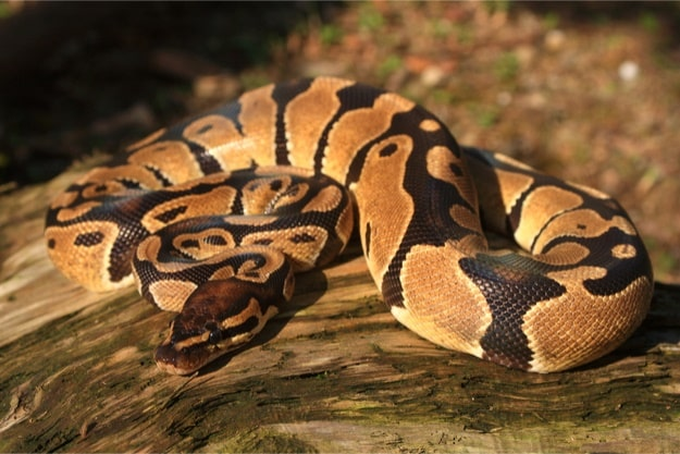 What's the price of a ball python?