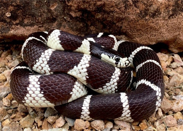 What's the price of a California kingsnake?