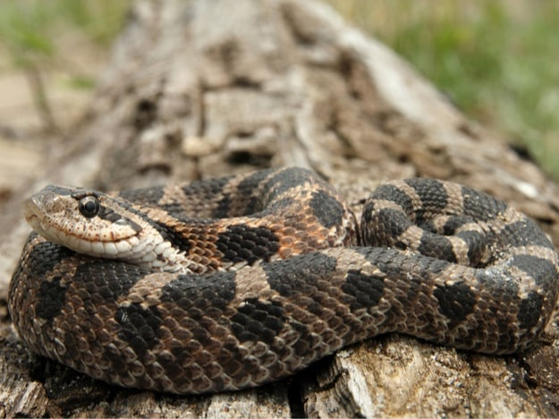 What's the price of a hognose snake?
