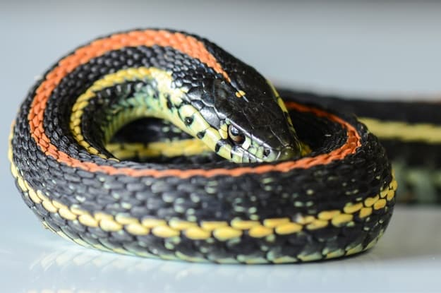 What's the price of a garter snake?