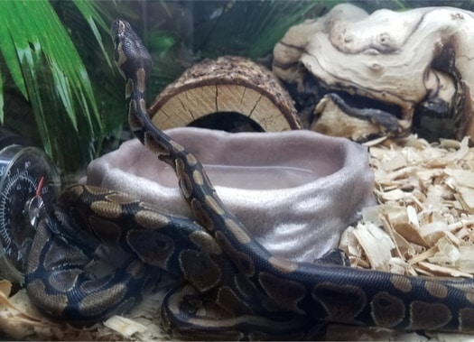 why is it important to clean a snake's enclosure?
