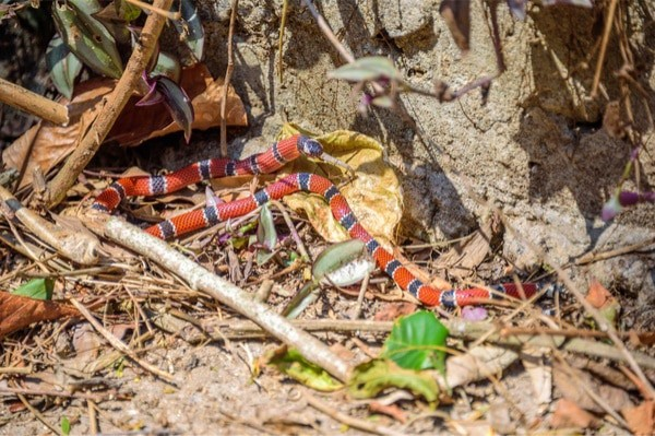 Which snake mimics the coral snake?