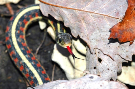 garter snake handling