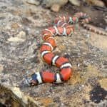 Keeping Milk Snake as Pets