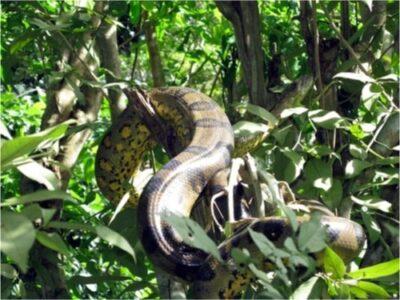 Predators of Boa Constrictors