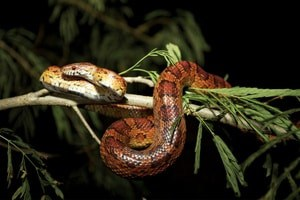Wild red rat snake in Florida