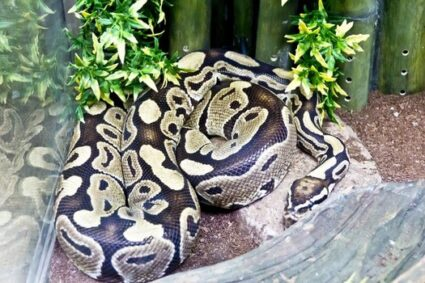 Reticulated Python Care