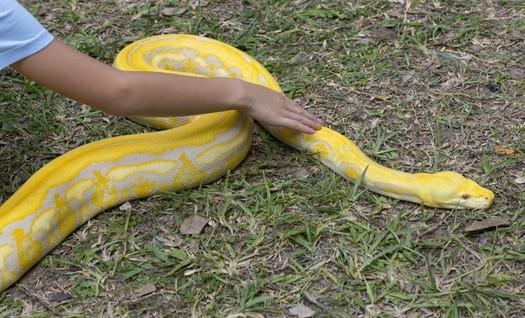 Golden Reticulated Python