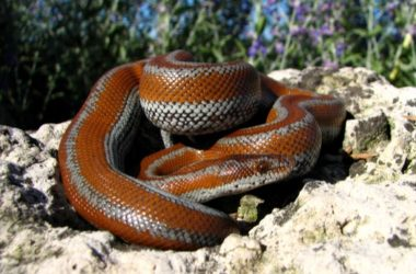 is a Rosy Boa a good pet?