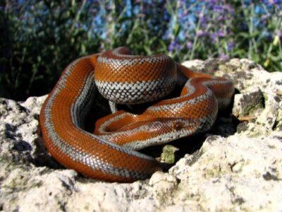 Rosy Boa Snake Care