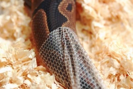 ball python shedding its skin