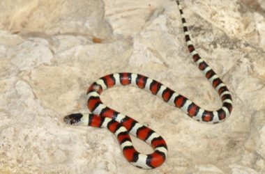 Snakes that look like a coral snake