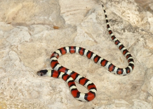 How do I identify a coral snake?