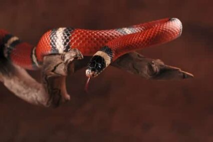 Types of Milk Snakes