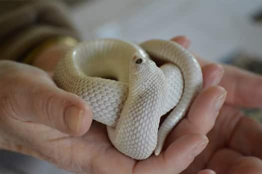 Western Hognose Snake Morphs