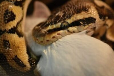 What Do Ball Pythons Like to Eat?
