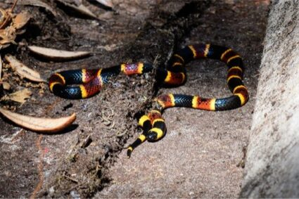 What Do Coral Snakes Eat?