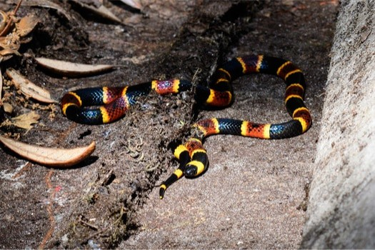 what do baby coral snakes eat?