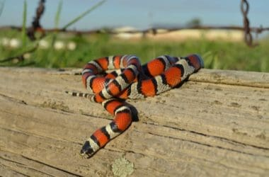 What Do Milk Snakes Eat?