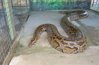 What's the Largest Snake That You Can Own?