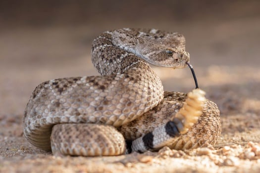 snakes that rattle tails