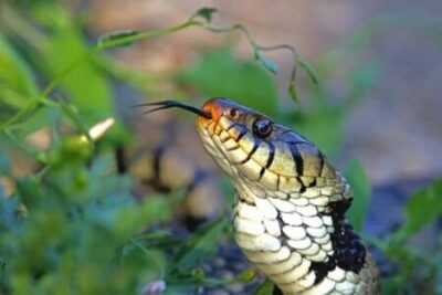 Why Do Snakes Hiss?