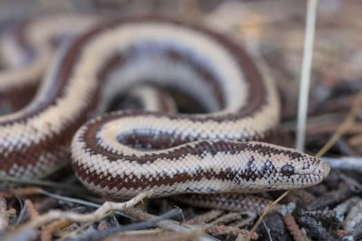temperament of a rosy boa