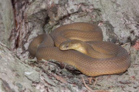Do egg-eating snakes bite?