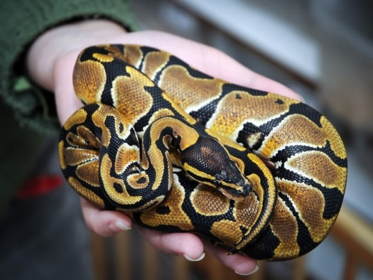 Ball Python health problems