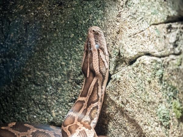 ball python shedding signs
