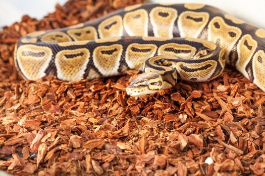 What Substrate is Good for Ball Pythons?