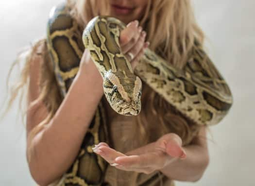 boa constrictor size