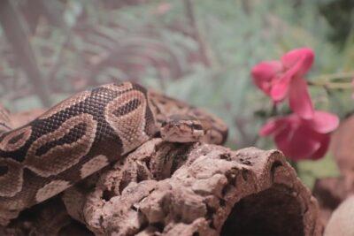 boa constrictor vs ball python pet
