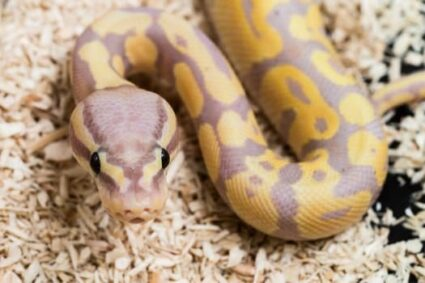 can ball pythons be housed together?