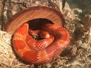 Do corn snakes make good beginner pets?