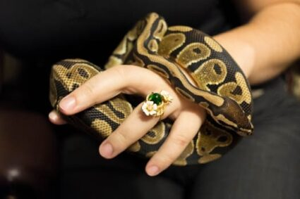 do Ball Pythons like to be handled?
