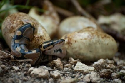 do baby snakes stay mother?