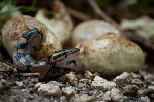 do adult snakes stay with their babies?