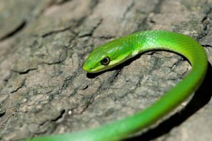 do rough green snakes make good pets?