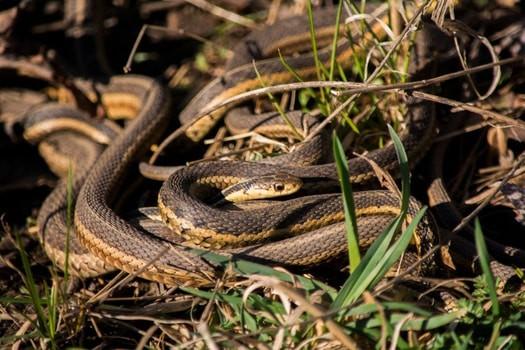 how do snakes hiss?