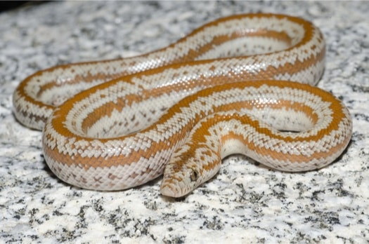 information about Rosy Boas