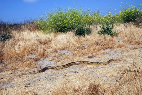 Cool facts about gopher snakes