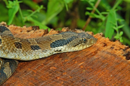 are hognose snakes venomous to humans?