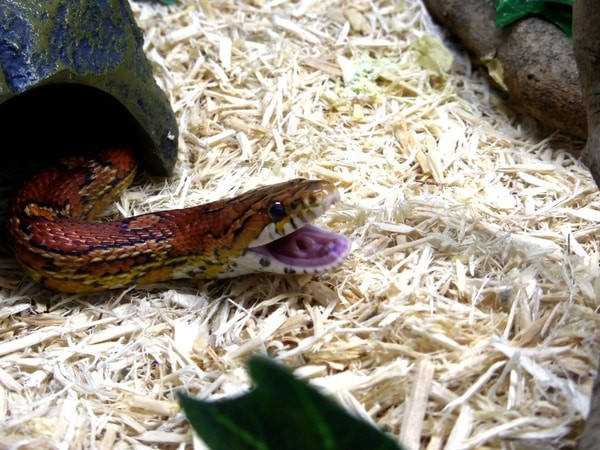 health problems in corn snakes
